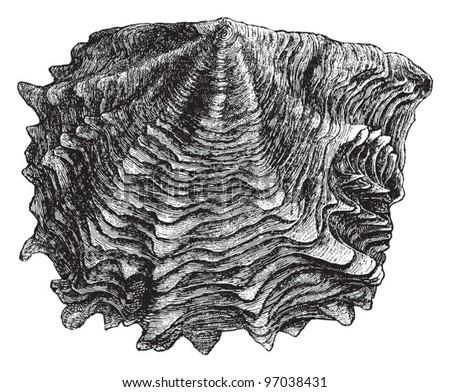 Pearl oyster (Meleagrina margaritifera) / vintage illustration from Meyers Konversations-Lexikon 1897 - stock vector