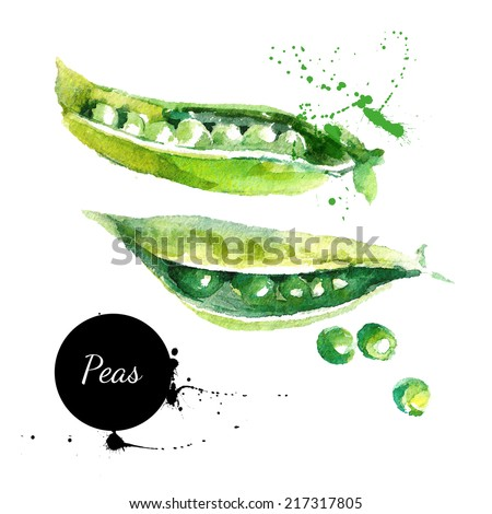 Peas. Hand drawn watercolor painting on white background. Vector illustration - stock vector