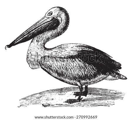Pelican, vintage engraved illustration. Natural History of Animals, 1880.