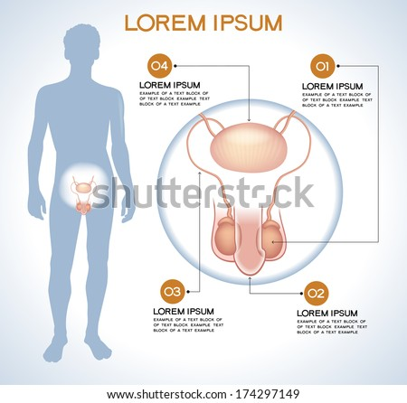 Penis, testes. Modern medical infographics. Internal organs in a human body. Anatomy of people - stock vector