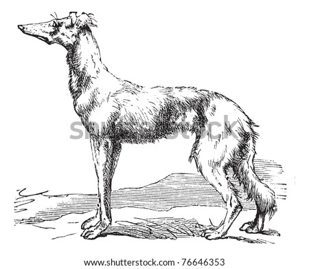 Persian Greyhound or Royal Dog of Egypt or Saluki or Canis lupus familiaris, vintage engraving. Old engraved illustration of a Persian Greyhound. Trousset encyclopedia. - stock vector