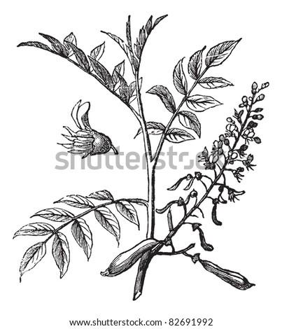 Peru Balsam or Myroxylon peruiferum, vintage engraved illustration. Trousset encyclopedia (1886 - 1891). - stock vector