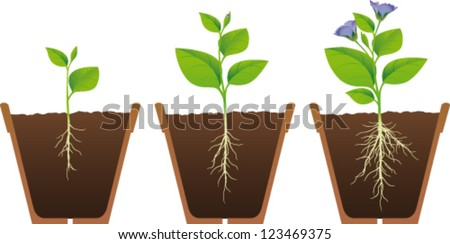 Phases of growth of a plant - stock vector