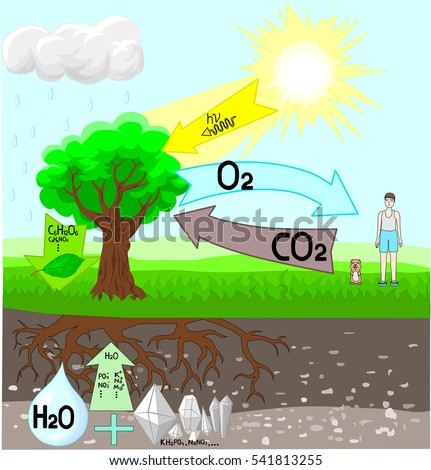 Photosynthesis Diagram Stock Images, Royalty-Free Images & Vectors ...