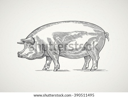 Pig in graphic style, hand drawn illustration.