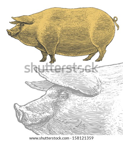 Pig or swine in vintage engraved style.  Vector illustration, isolated, grouped, transparent background - stock vector