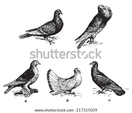 Pigeons, vintage engraved illustration. Dictionary of words and things - Larive and Fleury - 1895. - stock vector