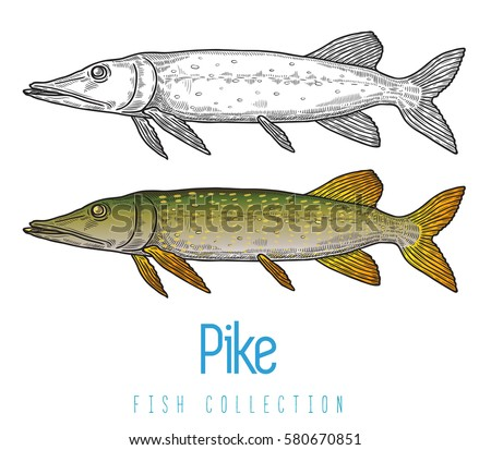 Predatory stock images royalty free images vectors for Predatory freshwater fish