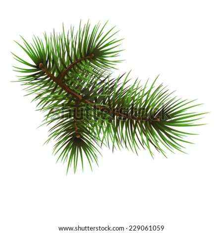Pine branch,vector drawing