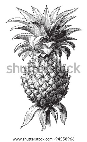Pineapple (Ananas comosus) / vintage illustration from Meyers Konversations-Lexikon 1897 - stock vector