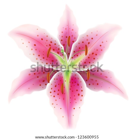 Pink lily on a white background - stock vector
