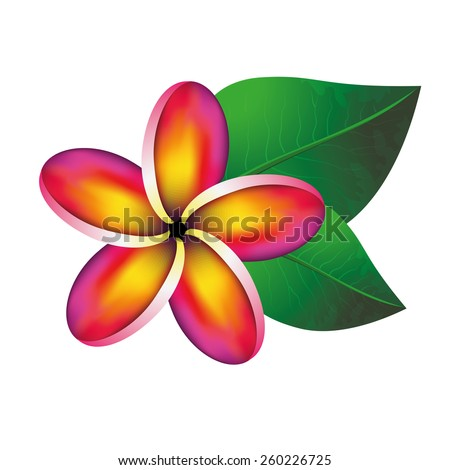 Pink plumeria frangipani flower with green leaves isolated on white. Vector Illustration - stock vector