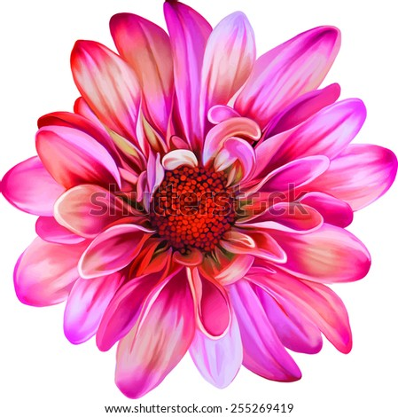 Pink Purple chrysanthemum flower, Yellow flower, Spring flower.Isolated on white background. Vector golden-daisy - stock vector