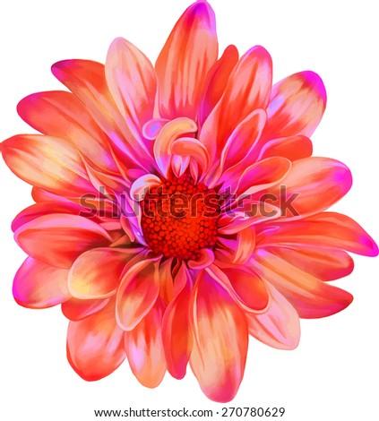 Pink redchrysanthemum flower, Spring flower.Isolated on white background. Vector golden-daisy - stock vector