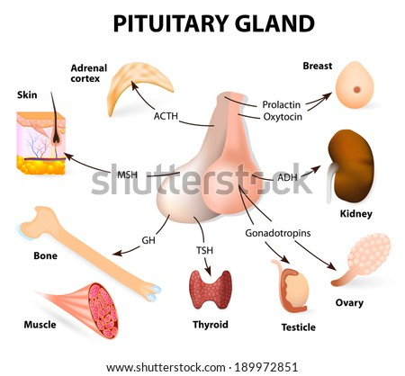 pituitary hormone functions. The two lobes, anterior and posterior, function as independent glands. - stock vector