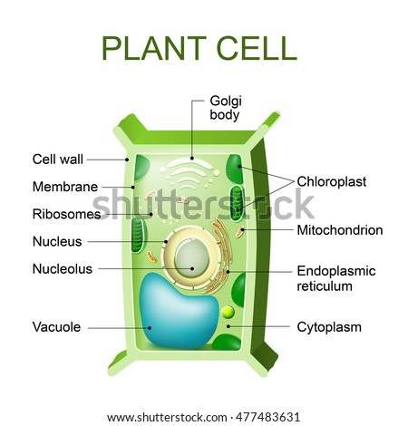 Plant cell stock images royalty free images vectors shutterstock plant cell anatomy cross section of a plant cel ccuart Image collections