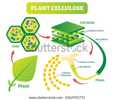 Plant cellulose biology vector illustration diagram stock vector plant cellulose biology vector illustration diagram with plant cell walls structure and fiber scheme ccuart Choice Image