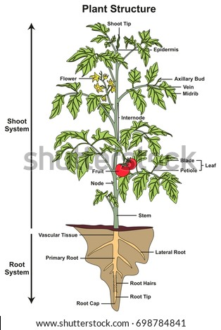 Plant structure infographic diagram including all stock vector plant structure infographic diagram including all parts of shoot and root systems showing buds flower fruit ccuart Image collections