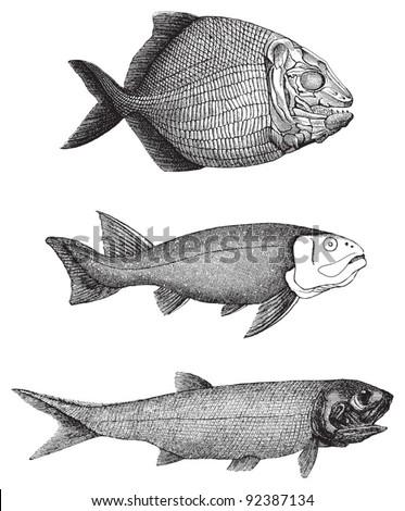 Platysomus striatus - Acanthodes - Palaeoniscus freieslebeni (lived 400 - 200 million years ago) / vintage illustration from Meyers Konversations-Lexikon 1897 - stock vector