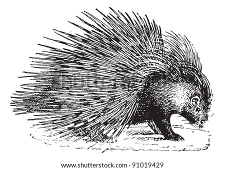 Porcupine,  vintage engraved illustration. Dictionary of words and things - Larive and Fleury - 1895. - stock vector