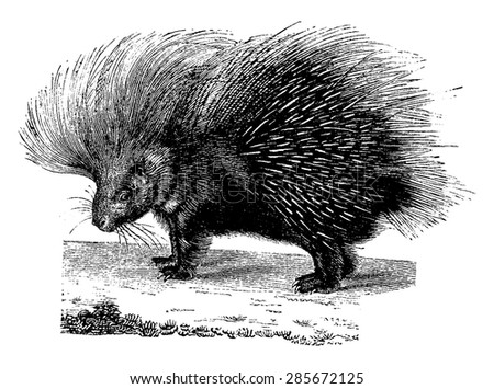Porcupine, vintage engraved illustration. Natural History of Animals, 1880.