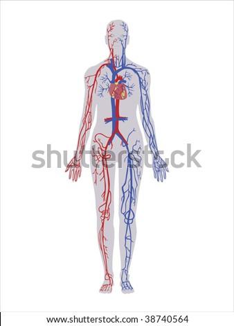 Principal Veins Arteries Vector Stock Vector 38740564 Shutterstock