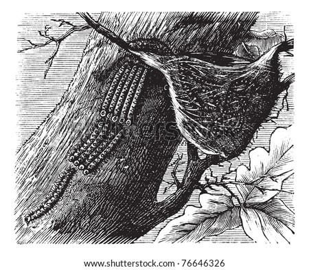 Processionary Caterpillar or Thaumetopoeidae, vintage engraving. Old engraved illustration of Processionary Caterpillars. Trousset encyclopedia. - stock vector