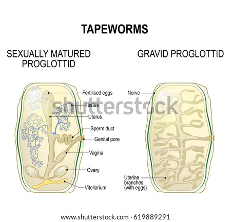Proglottid Taperworms Sexually Mature Proglottid Gravid Stock Vector
