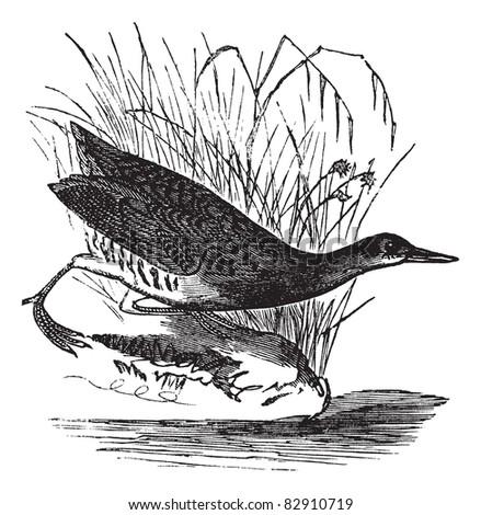 Rallus elegans or King rail, vintage engraving. Old engraved illustration of Rallus elegans waiting outside water.  Trousset encyclopedia (1886 - 1891). - stock vector