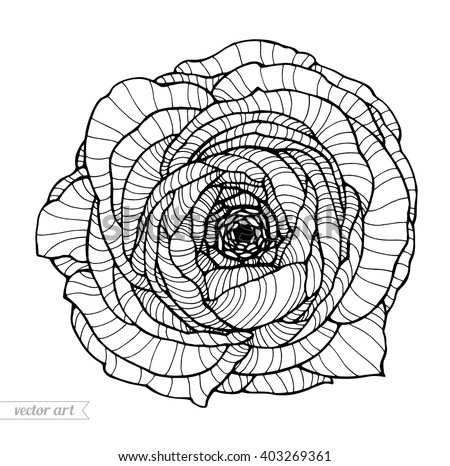 Ranunculus botanical stock photos royalty free images for Buttercup flower coloring pages