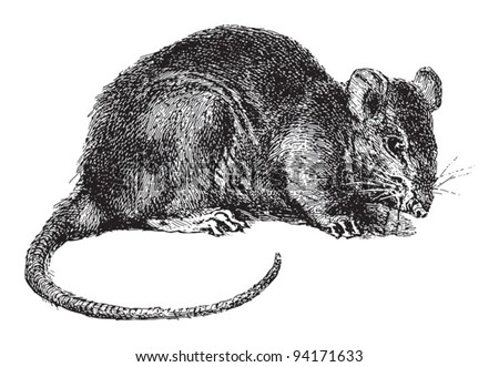 Rat (Rattus) / vintage illustration from Meyers Konversations-Lexikon 1897