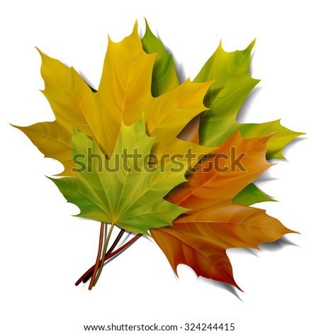 Realistic green and yellow maple leaves isolated on white background. Vector eps10 illustration. - stock vector
