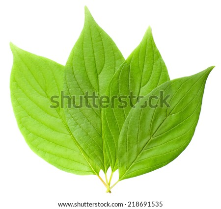 Realistic green leaf, isolated on white - stock vector