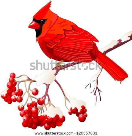 Red Cardinal bird sitting on mountain ash branch - stock vector