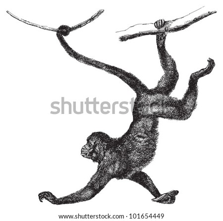 Red faced spider monkey (Ateles paniscus) / vintage illustration from Brockhaus Konversations-Lexikon 1908 - stock vector