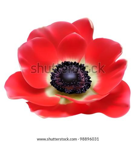 Red flower spring blossom seasonal vector illustration. Anemone isolated on white - stock vector