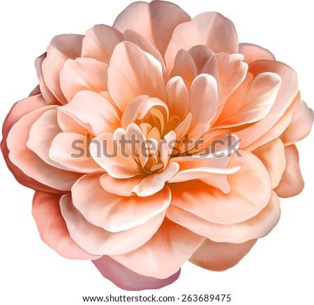 Red Orange Rose Camellia Flower  isolated on white background - stock vector