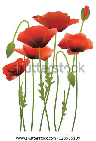 red poppy flowers, vector illustration - stock vector