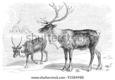 Reindeer (Rangifer tarandus) / vintage illustration from Meyers Konversations-Lexikon 1897 - stock vector