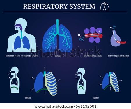 Respiratory system diagram respiratory system lungs stock vector respiratory system diagram of the respiratory system with lungs inside gas exchange external ccuart Gallery
