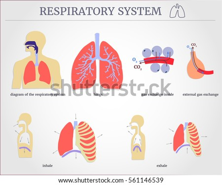 Nose anatomy stock images royalty free images vectors respiratory system diagram of the respiratory system with lungs inside gas exchange external ccuart