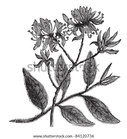Rhodora or Rhododendron canadense, vintage engraving. Old engraved illustration of Rhodora isolated on a white background. Trousset encyclopedia (1886 - 1891).