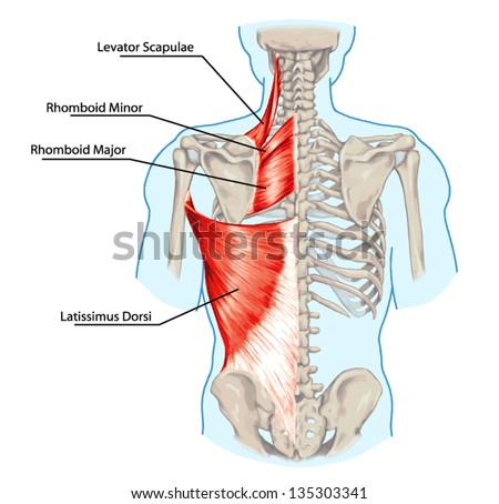 Rhomboid minor and rhomboid major, levator scapulae and latissimus dorsi muscles - didactic board of anatomy of human bony and muscular system, posterior view - stock vector