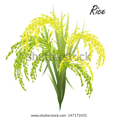 Rice (Oryza sativa, Asian rice). Hand drawn realistic vector illustration of rice panicles on white background