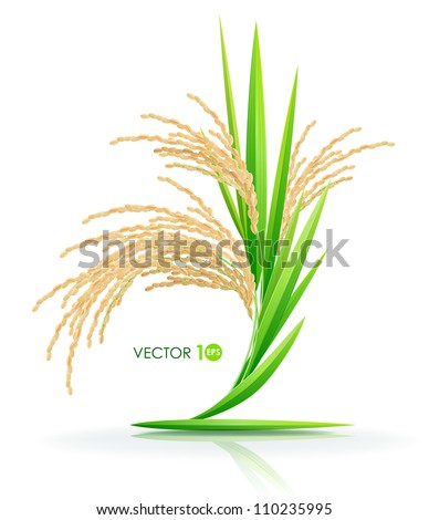 Rice. Spikelet of rice on a white background. Vector illustration. Eps 10.