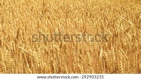 Ripe wheat field - stock vector