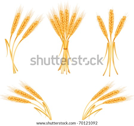 Ripe yellow wheat ears, agricultural vector illustration - stock vector