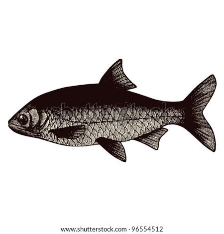 """Roach Fish - vintage engraved illustration - """"Dictionnaire encyclopédique universel illustré"""" By Jules Trousset - 1891 Paris - stock vector"""