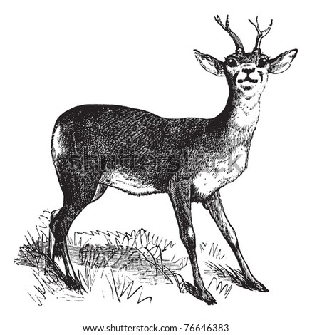 Roe Deer or Chevreuil or Capreolus capreolus, vintage engraving. Old engraved illustration of a Roe Deer. Trousset encyclopedia. - stock vector