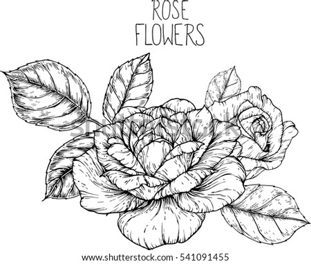 rose flowers drawing vector illustration and line art